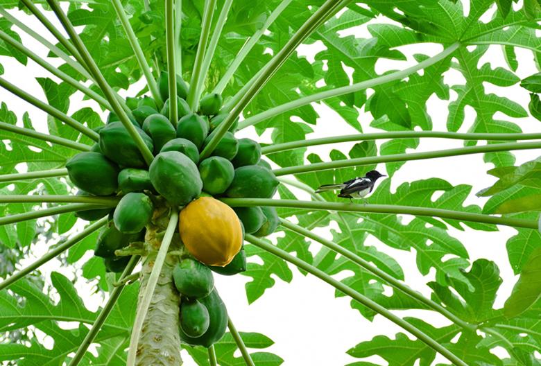 Mariniranje papaya tree PIXABAY