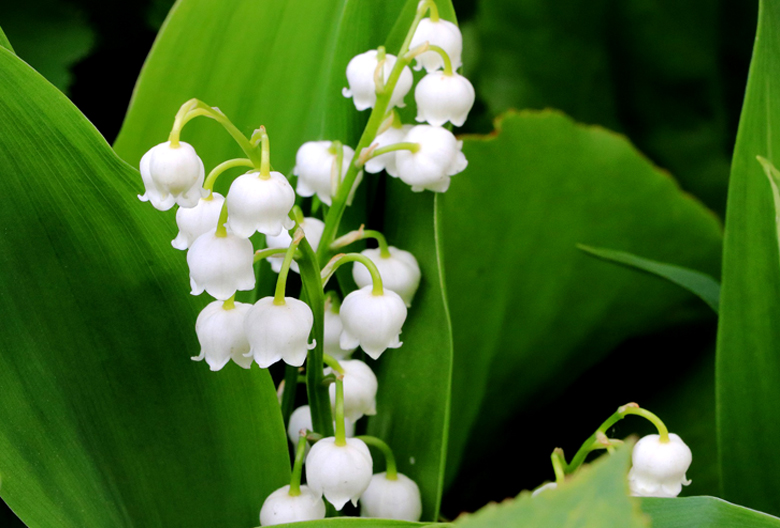 mariniranje lily of the valley pixabay