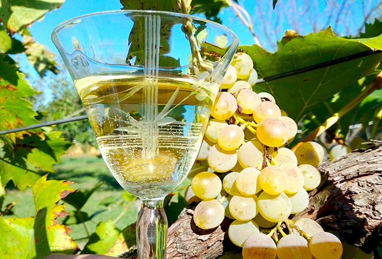 Mariniranje belo vino i grozdje Foto M Jablanov