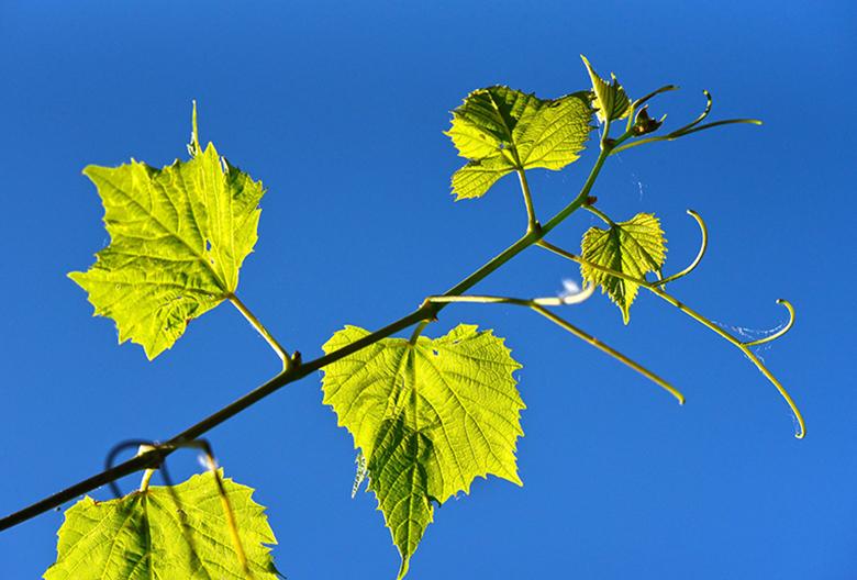 Mariniranje grapevine leaf by Mabel Amber Pixabay