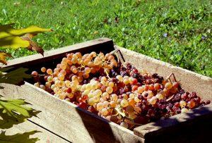 Mariniranje grape PIXABAY