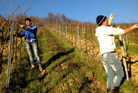 Mariniranje orezivanje vinograda