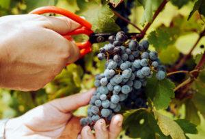 Mariniranje grape harvest by elle-hughes 1 on pexels