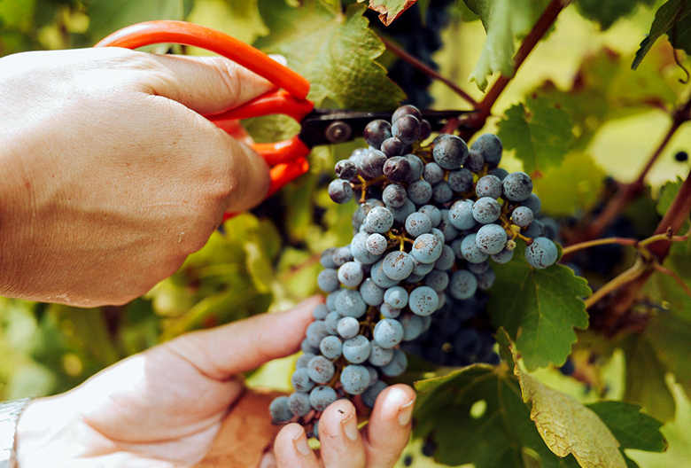 Mariniranje grape harvest by elle-hughes 1 on pexels