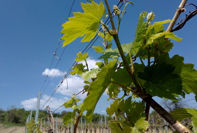 vineyard Fruska gora Mariniranje Foto M Jablanov