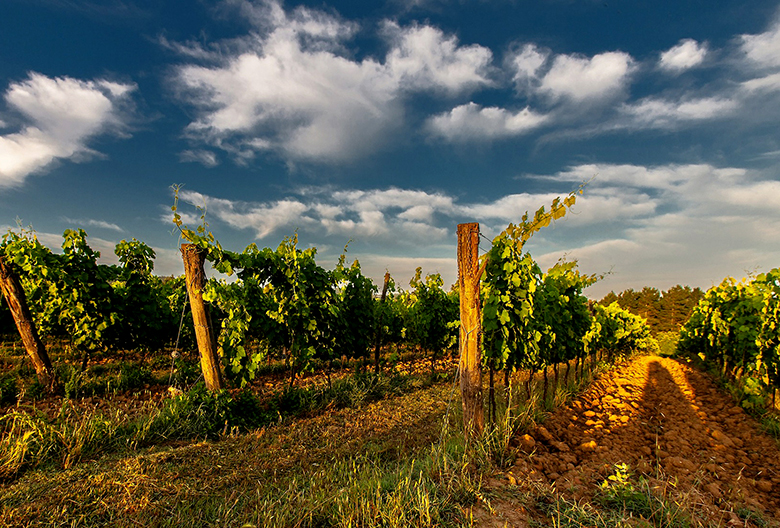 vineyard Mariniranje photo Pixabay